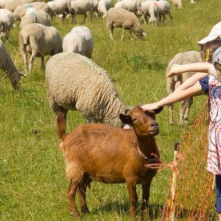 Auf zu neuen schafen das offizielle stadtportal for Schafe halten im garten