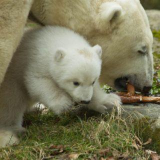 Das Eisbärbaby hat Spaß beim ersten Ausflug