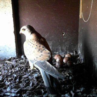Falken brüten im Hochhaus