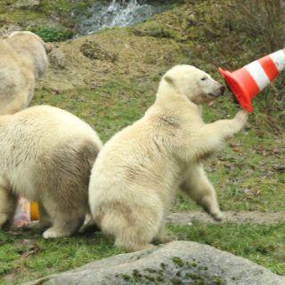 Die Eisbärbabys sind groß geworden