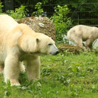 Eisbärenbabys: Spaß im Freigehege
