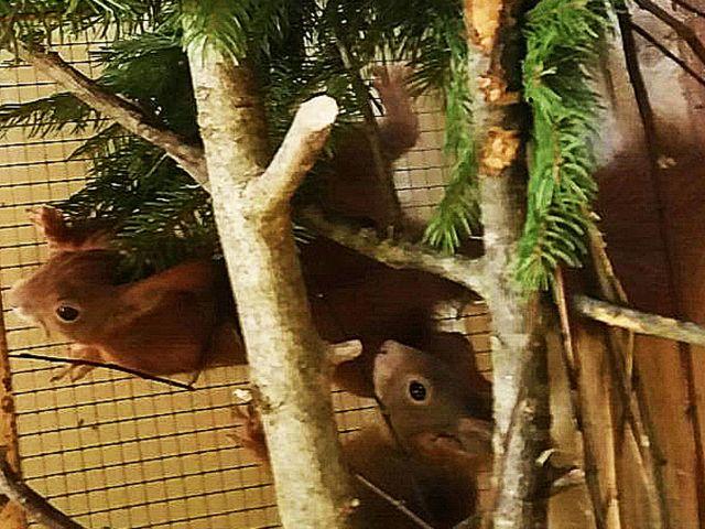 Eichhörnchen Olivio mit Freundin Eika, Foto: Eichhörnchen Schutz e.V.