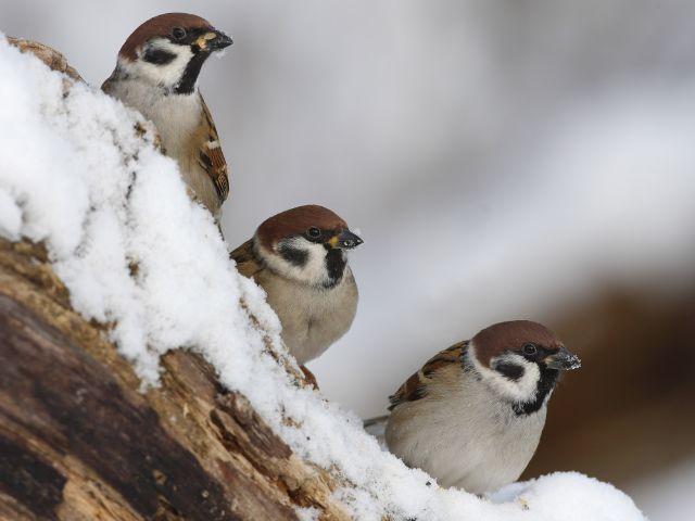 Feldsperlinge im Schnee, Foto: M. Kühn