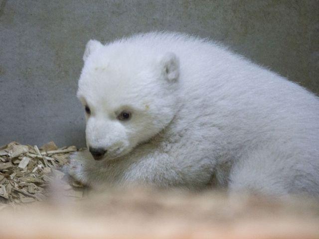 Der weibliche Eisbären-Nachwuchs in Hellabrunn., Foto: Tierpark Hellabrunn / Marc Müller