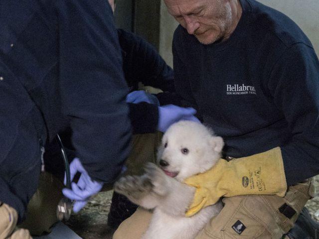 Der weibliche Eisbären-Nachwuchs in Hellabrunn beim Tierarzt., Foto: Tierpark Hellabrunn / Marc Müller