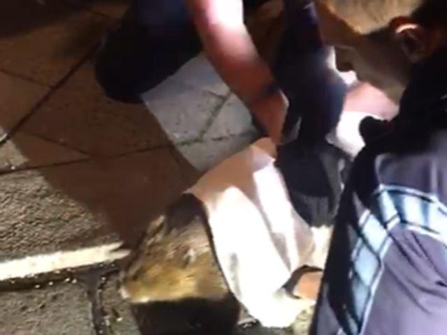 Von der Polizei geretteter Bieber, Foto: Polizeipräsidium München