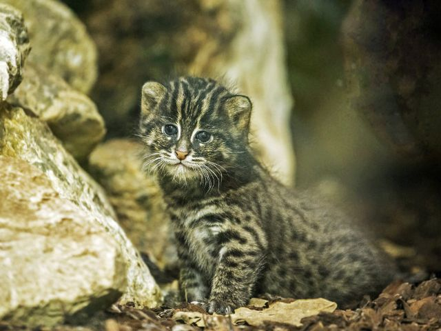Süßes Fischkatzen-Jungtier in Hellabrunn, Foto: Tierpark Hellabrunn / Maria Fencik