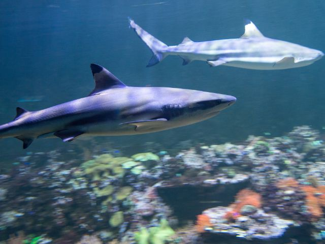 Haie im Aquarium vom Tierpark Hellabrunn, Foto: Tierpark Hellabrunn / Marc Müller