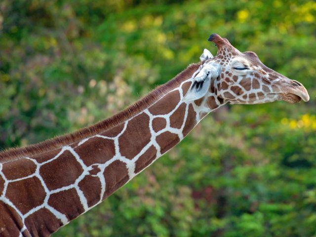 Giraffe in Hellabrunn, Foto: Dennis Reininger