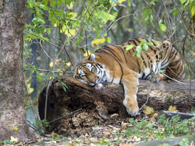 Sibirischer Tiger im Herbst, Foto: Stefan Katzlinger