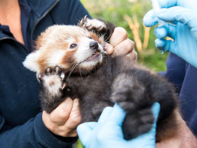 Rotes Panda Baby im Tierpark Hellabrunn, Foto: Marc Müller