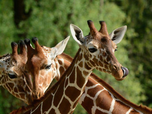 Giraffen im Tierpark Hellabrunn, Foto: Tierpark Hellabrunn / Marisa Segadelli