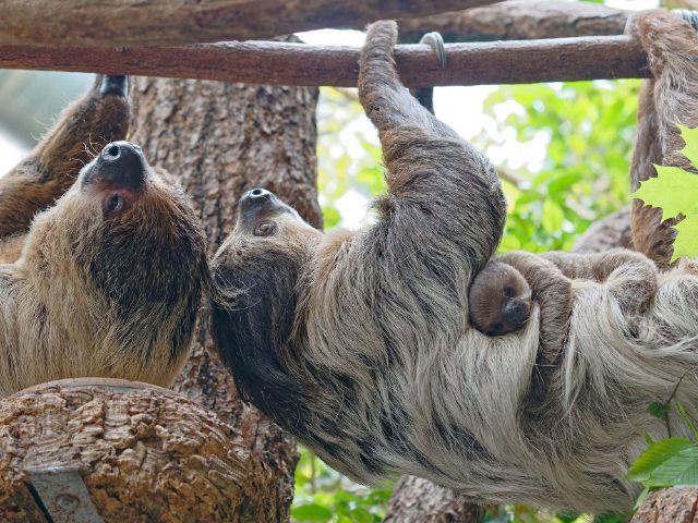Neuer Nachwuchs im Tierpark Hellabrunn, Faultier Baby, Foto: Michael Matziol