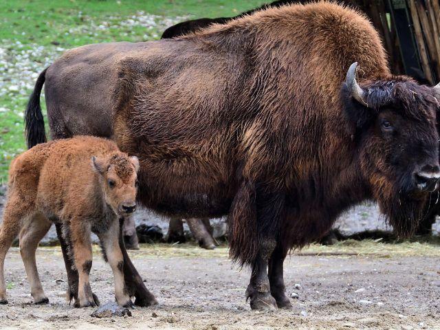 Bisonbaby in Hellabrunn, Foto: Tierpark Hellabrunn / Gemma Borrell