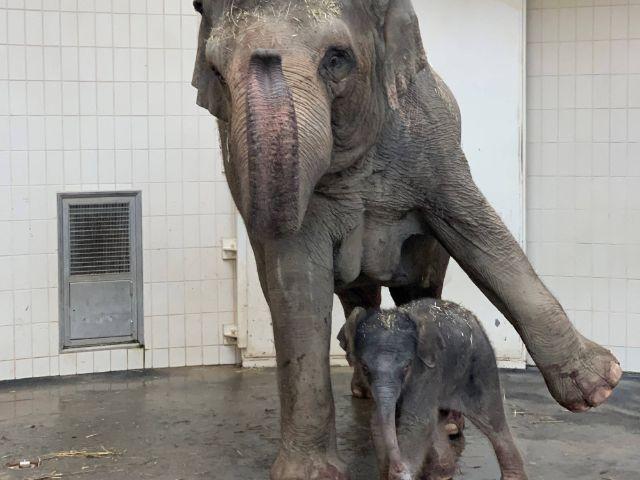 Nachwuchs bei den Elefanten in Hellabrunn, Foto: Tierpark Hellabrunn