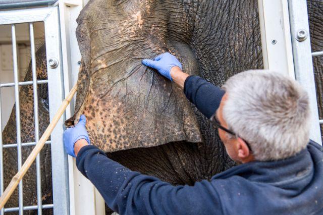 Tierpfleger Andreas Fries kontrolliert das Ohr von Temi., Foto: Tierpark Hellabrunn / Marc Müller