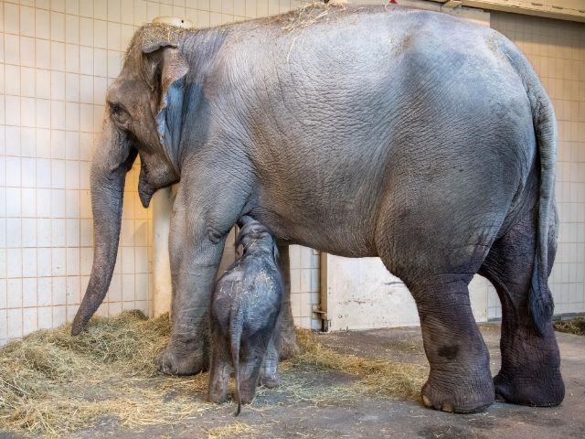 Elefantenbaby Otto trinkt bei Mama Temi, Foto: Marc Müller/Tierpark Hellabrunn