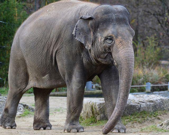 Elefantendame Temi, Foto: Tierpark Hellabrunn / Gemma Borrell
