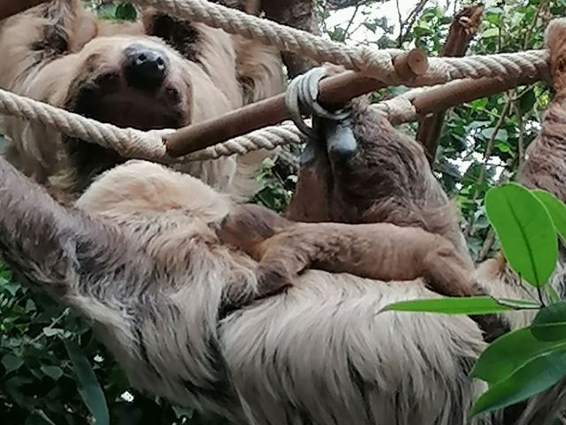 Neues Faultier-Baby im Tierpark Hellabrunn, Foto: Sascha Tütsch
