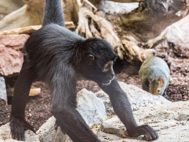 """Klammeraffen und Azara-Agutis leben neuerdings gemeinsam in der """"Welt der kleinen Affen"""", Foto: Marc Müller/Tierpark Hellabrunn"""