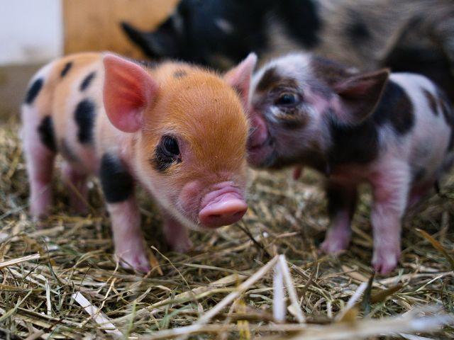 Nachwuchs bei den Kunekune-Schweinen im Tierpark Hellabrunn, Foto: Tierpark Hellabrunn / Dominik Greenwood