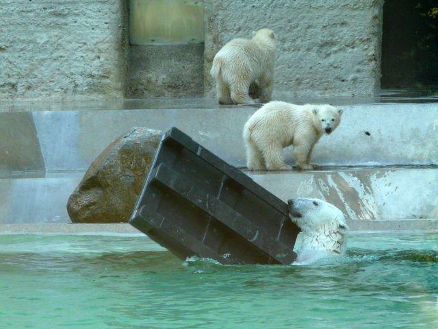 Eisbären im Tierpark Hellabrunn planschen im Wasser, Foto: Leonie Liebich