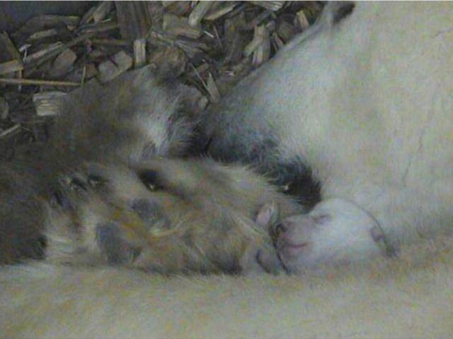 Am 21. November um 15:06 Uhr hat Eisbärin Giovanna ein gesundes Jungtier zur Welt gebracht. , Foto: Tierpark Hellabrunn
