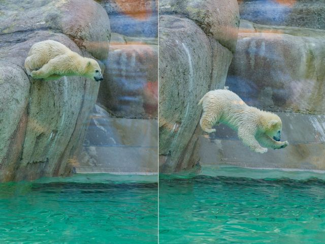 Eisbären im Tierpark Hellabrunn springen im Wasser, Foto: Tierpark Hellabrunn/Marc Müller