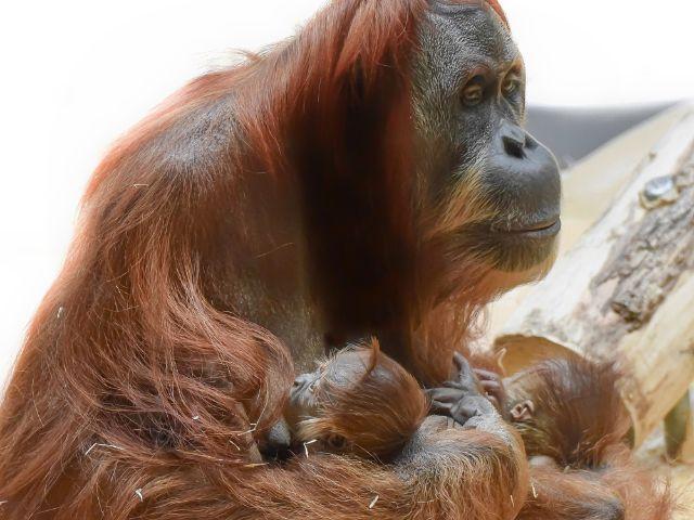 Matra mit den zwei Orang-Utan-Babys., Foto: Tierpark Hellabrunn / Susanne Bihler