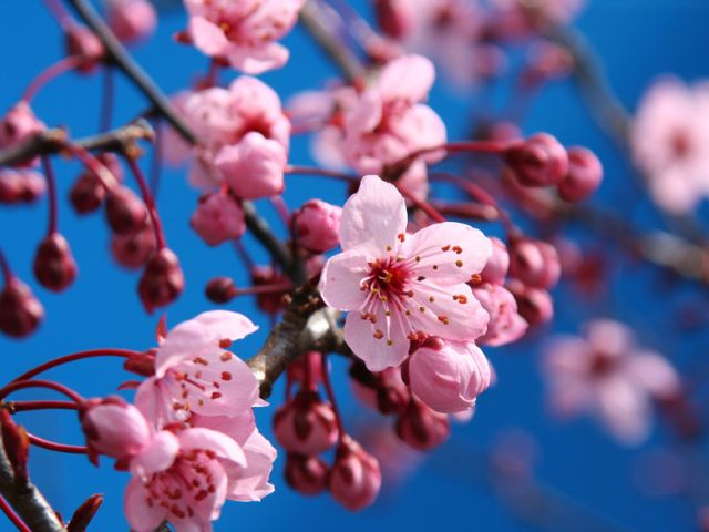Kirschblütenzweig unter blauem Himmel, Foto: Shutterstock