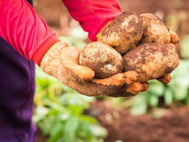 Kartoffeln in der Hand nach Ernte