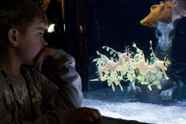 Seedrachen, Foto: Sea Life Center