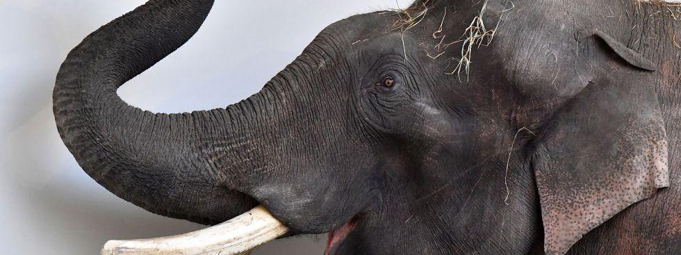 Elefant Gajendra in Hellabrunn, Foto: Tierpark Hellabrunn/Joerg Koch