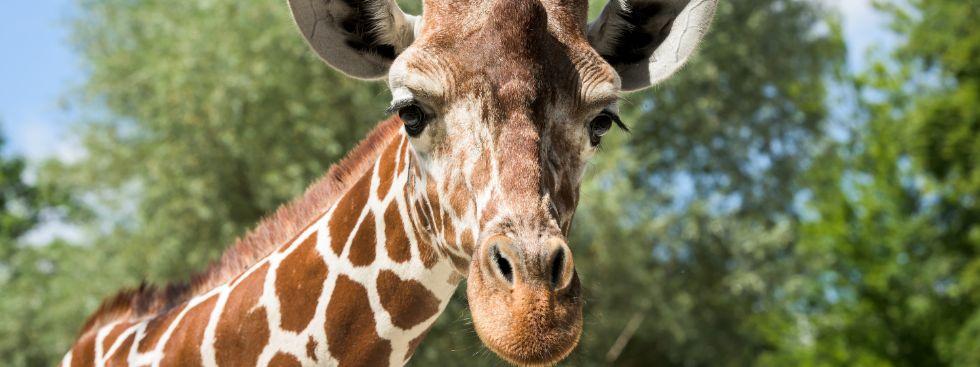 Giraffe Limber in Hellabrunn, Foto: Tierpark Hellabrunn/Jörg Koch