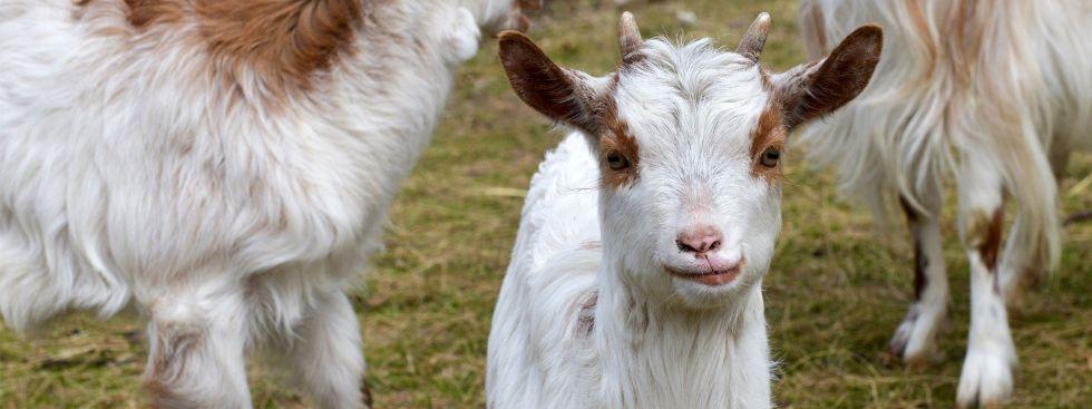 Girgentana-Ziegen in Hellabrunn, Foto: Tierpark Hellabrunn