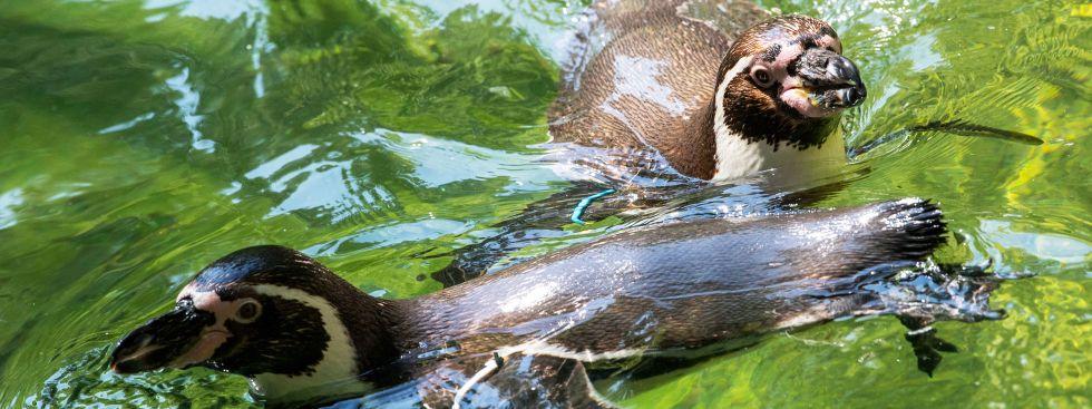 Die Humboldtpinguine trotzen der Hitze im Tierpark Hellabrunn, Foto: Tierpark Hellabrunn / Marc Müller