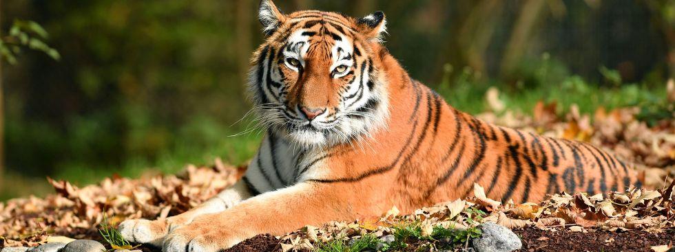 Tiger, Foto: Tierpark Hellabrunn / Jörg Koch
