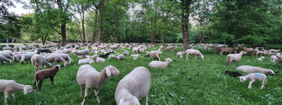 Schafe grasen im Nordteil des Englischen Gartens, Foto: muenchen.de/Saskia Ziegler