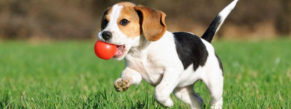 Hundewelpe spielt mit einem Ball