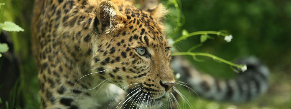 Leopard Julius in Hellabrunn., Foto: Tierpark Hellabrunn/Ellinor Fischer