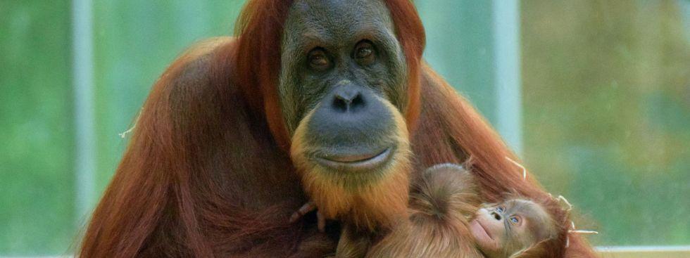 Matra mit den zwei Orang-Utan-Babys., Foto: Tierpark Hellabrunn / Sarah Held