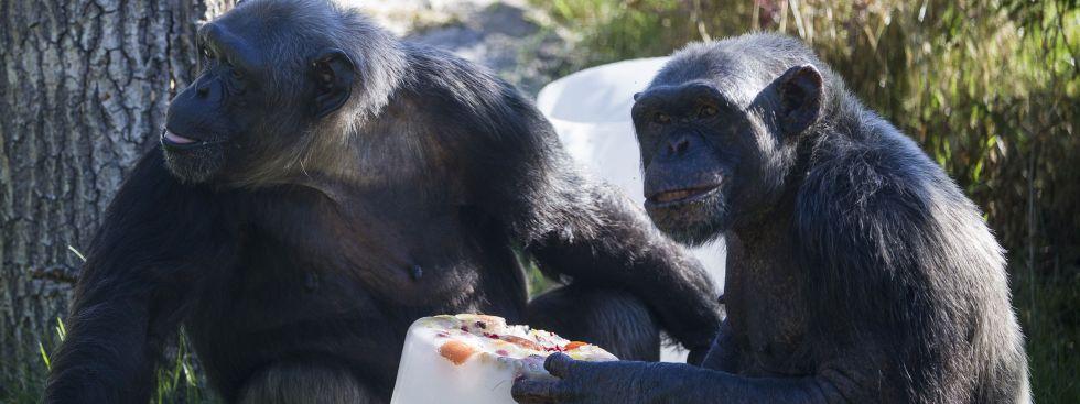 Osterspass - Schimpansen fressen Osterüberraschung im Tierpark Hellabrunn, Foto: Tierpark Hellabrunn / Marc Müller