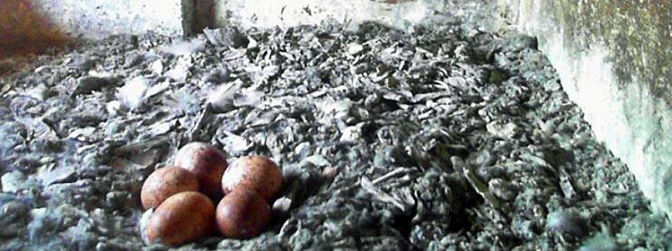 Ein Turmfalken-Weibchen legt zwischen 3 und 7 Eiern ab (Archivbild)