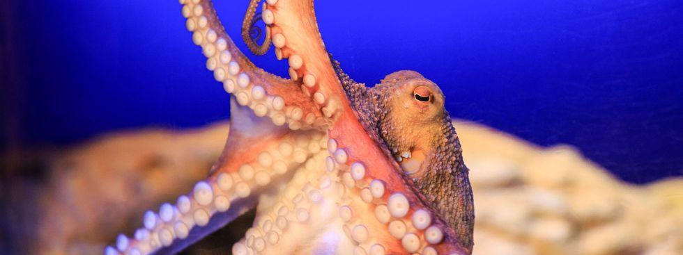 Neue Oktopus-Höhle wird im Sea Life eröffnet, Foto: Sea Life Deutschland