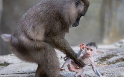 Drillaffen-Baby Shari und Mama Kaduna