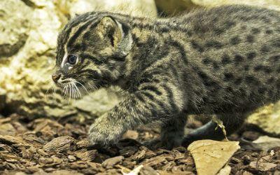 Süßes Fischkatzen-Jungtier in Hellabrunn