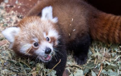 Rotes Panda Baby im Tierpark Hellabrunn