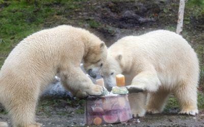 Die Eisbären an ihrem zweiten Geburtstag.