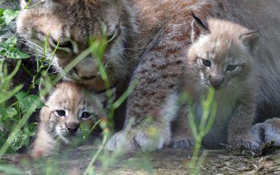 Niedliche Luchs-Babys im Tierpark Hellabrunn