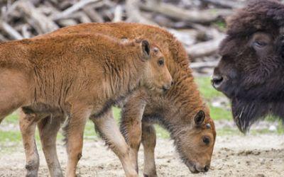 Waldbison-Buben: der Nachwuchs Peterle und Päuschen nach 3-4 Wochen